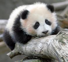 Sad Panda :-(